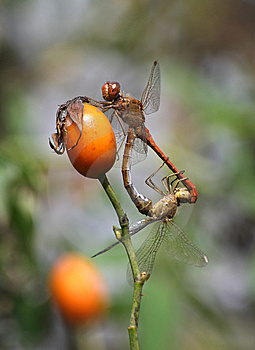 Dragonflies Mating On Wild Rose Stock Photo - Image: 8665970