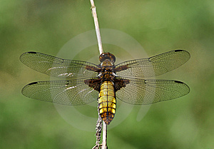 Dragonfly Broad-bodied Chaser - Libellula Depressa Royalty Free Stock Image - Image: 8666056