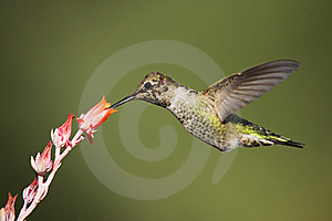 Hummingbird In Flight Stock Image - Image: 8666081