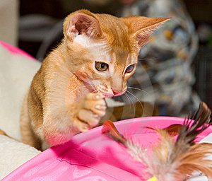 Abyssinian Kitten Stock Images - Image: 8666954