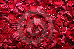 Rose-pétalos Fotografía de archivo - Imagen: 8667332