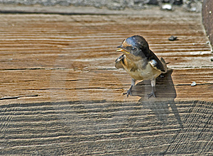 Begging Barn Swallow Royalty Free Stock Photo - Image: 8667565