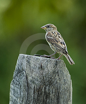 Brown Bird On Fence Post Royalty Free Stock Images - Image: 8667589