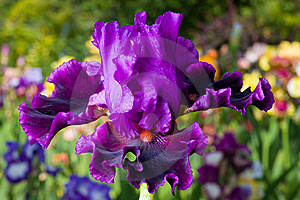 Iris On Garden Background Royalty Free Stock Image - Image: 8668016
