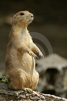 Black-tailed Prairie Dog Stock Images - Image: 8668644