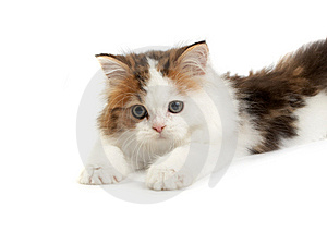 Kitten Scottish  Straight Royalty Free Stock Image - Image: 8668966