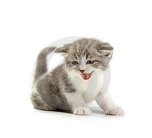 The Kitten Royalty Free Stock Photos - Image: 8668968