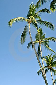 Group Of Palm Trees Against The Sky Royalty Free Stock Photo - Image: 8669235