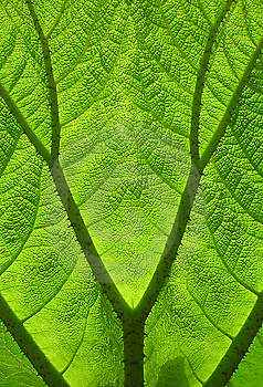 Leaf Veins Stock Photography - Image: 8669582