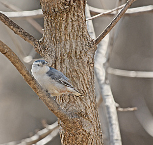 White-breasted Nuthatch Stock Photos - Image: 8670293
