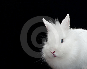 White Rabbit Royalty Free Stock Photography - Image: 8672677