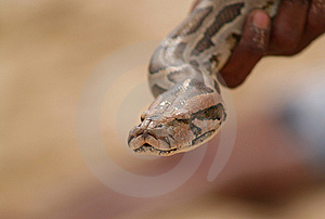 Hand Holding Snake Head Stock Photography - Image: 8681882