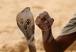 Snake Head And Human Fist Stock Photos - Image: 8681883