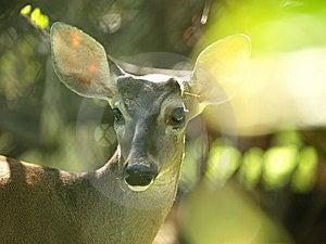 Sunplay In Deer Image Stock Photography - Image: 8682752