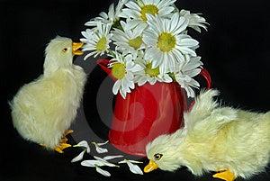 Daisy Ducklings Royalty Free Stock Photos - Image: 8685558