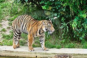 Big Tiger Royalty Free Stock Photo - Image: 8686235