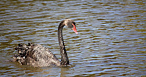 Black Swan (Cygnus Atratus) Stock Photos - Image: 8692053