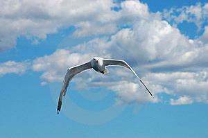 Seagull Royalty Free Stock Photo - Image: 8694845