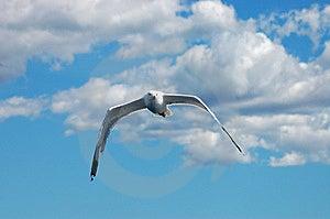 Seagull Royalty Free Stock Photo - Image: 8694845
