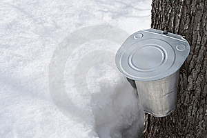 Collecting Maple Sap In Spring Stock Photo - Image: 8696800