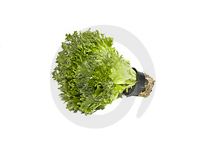 Fresh Lettuce In A Pot, Isolated Royalty Free Stock Images - Image: 8699609