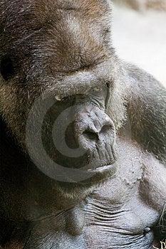 Gorilla Stock Images - Image: 875524