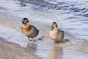 Ducks Royalty Free Stock Images - Image: 878559