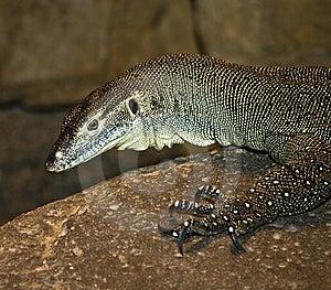 Monitor Lizard Stock Photos - Image: 8708233