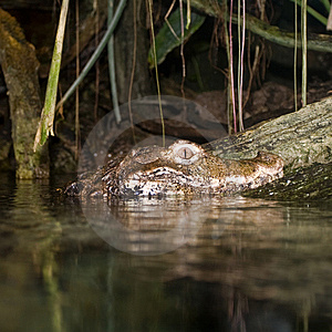 Peek-a-Boo Croc Royalty Free Stock Image - Image: 8708276