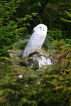 Snowy Owl Stock Images - Image: 8713074