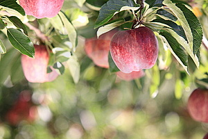 Red Apples On Tree Stock Images - Image: 8714584