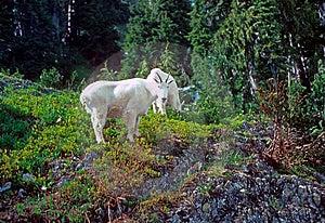 Curious Mountain Goats, Royalty Free Stock Photos - Image: 8718308