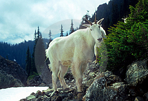 Curious Mountain Goats, Royalty Free Stock Image - Image: 8718336