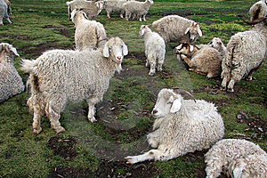 Sheep Royalty Free Stock Images - Image: 8718579