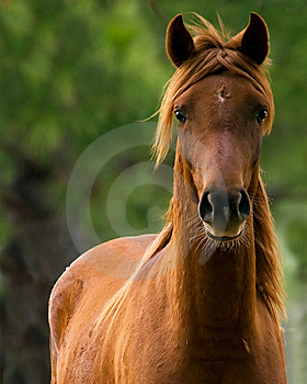 Chestnut Gelding Stock Images - Image: 8724364