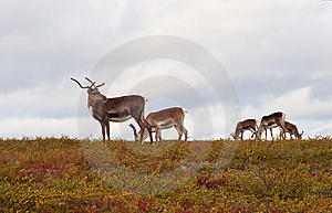 Reindeers Browsing In The Fields Stock Photos - Image: 8726633