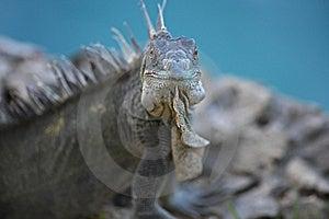 Green Iguana (Iguana Iguana) Stock Image - Image: 8727251