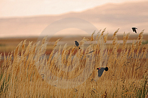 Red-winged Blackbirds Against An Amber Meadow Stock Photography - Image: 8731302