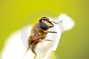 Bee Macro Royalty Free Stock Image - Image: 8731906