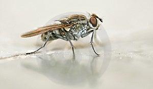 Fly Macro Stock Image - Image: 8731931