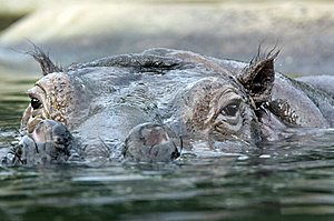 Hippo Stock Images - Image: 8734934