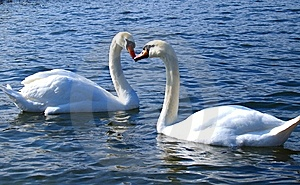 Heart Kissing Swan Royalty Free Stock Photos - Image: 8735068