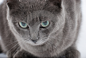 Grey Cat Royalty Free Stock Photography - Image: 8736387