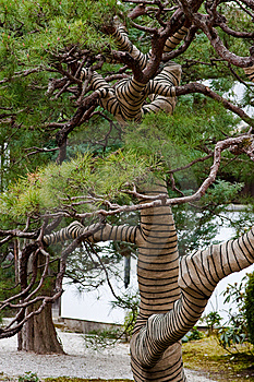 Japanese Pine Tree Stock Images - Image: 8744454
