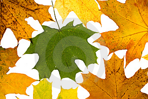 Maple Leaves Royalty Free Stock Images - Image: 8749129