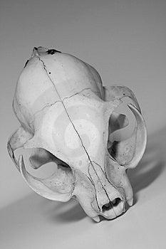 Skull Royalty Free Stock Photo - Image: 8756735