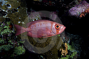 Crescent-tail Bigeye Stock Images - Image: 8759684