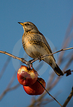 Thrush Stock Photo - Image: 8761020