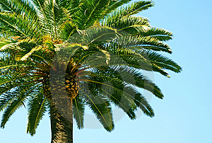Palm Trees And Blue Sky Stock Photography - Image: 8768342