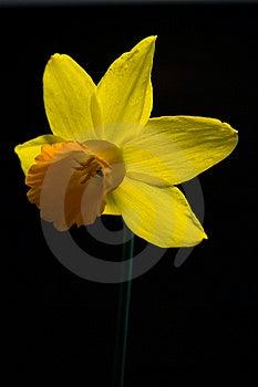 Single Daffodil On Black Stock Image - Image: 8770181